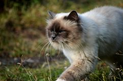 Beautiful azure blue eyed cat prowling in green vegetation Royalty Free Stock Photography