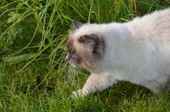 Beautiful azure blue eyed cat prowling in green vegetation Stock Photography