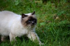 Beautiful azure blue eyed cat prowling in green vegetation Royalty Free Stock Photos