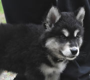 Beautiful Baby Alusky PUppy Dog with Black and White Markings Royalty Free Stock Photos