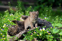 Beautiful baby Bobcat coming out of a hollow log. Royalty Free Stock Photo