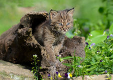 Beautiful baby Bobcat coming out of a hollow log. Baby Bobcat among spring wildflowers stock photos