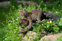 Beautiful baby Bobcat coming out of a hollow log. Baby Bobcat among spring wildflowers Stock Images