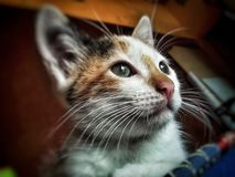 Beautiful baby calico cat royalty free stock photography