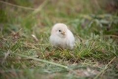 Beautiful baby chicken. Stock Photo