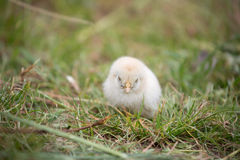 Beautiful baby chicken. Stock Images
