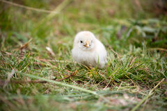 Beautiful baby chicken. Royalty Free Stock Image