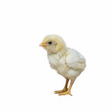 Beautiful baby chicken. Chicken, beautiful baby chicken isolated with white background Royalty Free Stock Photography
