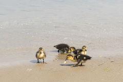 Beautiful baby ducks eating and swimming in Paros island. Royalty Free Stock Image