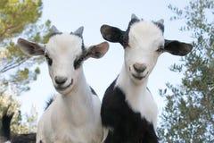 Beautiful baby dwarf goats. Portrait of beautiful baby dwarf goats stock photos