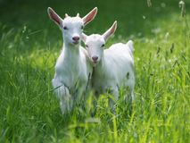 Beautiful Baby Goats royalty free stock photos