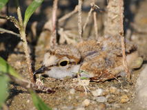 Beautiful  baby Little Ringed Plover Royalty Free Stock Photo