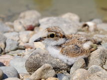 Beautiful baby Little Ringed Plover Royalty Free Stock Photos