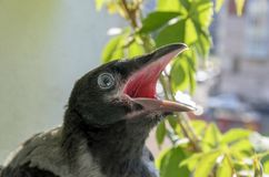 Beautiful baby Raven sitting on the balcony railing with his mouth open, asks to eat and screams loudly. friendly lovely bird royalty free stock photography
