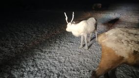 Beautiful baby reindeer in the middle of night in the tundra in Siberia. Beautiful baby reindeer in the middle of night in the tundra in Siberia stock video