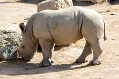 Beautiful baby rhino. Grazing in the sun on a hot summer day Royalty Free Stock Photos
