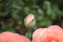 Beautiful baby rose flowerbud Royalty Free Stock Photo