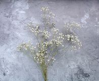 Baby`s breath Gypsophila paniculata Royalty Free Stock Image