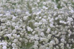 Baby`s breath Gypsophila paniculata. Beautiful baby`s breath on marble background royalty free stock photos