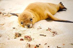 Beautiful baby sea lion in san cristobal galapagos islands. Beautiful baby sea lion laying over the white sand in san cristobal galapagos islands ecuador royalty free stock images