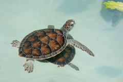 Baby sea turtle swimming on water surface. A beautiful baby sea turtle swimming on the surface of the water, reaching of a fresh lettuce leaf royalty free stock photos