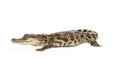 Beautiful Baby Siamese Crocodile Royalty Free Stock Photos