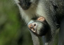 A beautiful baby vervet monkey hanging off mom Royalty Free Stock Photos