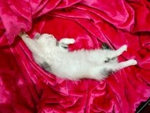 Beautiful baby white cat sleeping on pink fabric royalty free stock image