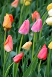 Beautiful backdrop of colorful tulips tucked into the greenery of springtime. Bright and colorful pink, peach, orange, and yellow tulips just beginning to open stock photography