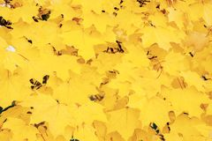 A beautiful backdrop of maple trees in autumn with yellow leaves. Out of focus. The horizontal frame Stock Photos