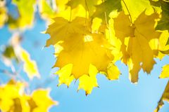 A beautiful backdrop of maple trees in autumn with yellow leaves. Out of focus. The horizontal frame Stock Images