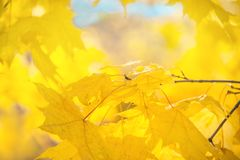 A beautiful backdrop of maple trees in autumn with yellow leaves. Out of focus. The horizontal frame Royalty Free Stock Photos