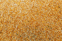 Beautiful background of barley grain in a pile. In the process of harvesting Stock Photography