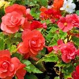 Beautiful background of  begonias Stock Photography