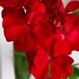 Beautiful background of red geranium plant. Beautiful background of blossom red geranium plant stock photos