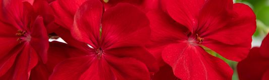 Beautiful background of red geranium plant. Beautiful background of blossom red geranium plant royalty free stock images