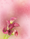 Beautiful background blur with red calla flowers Stock Photography
