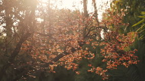 Beautiful  background branches  with  colorful red and yellow leaves  flooded by the sunlight . stock video