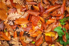 Beautiful background of colorful autumn leaves. Stock Photography