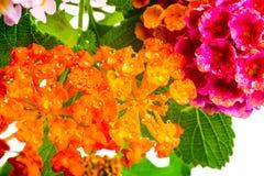 Beautiful background of colorful Lantana camara flower with dew, Stock Photos
