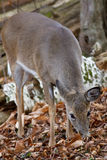 Beautiful background with the cute deer eating the leaves in the forest Stock Image