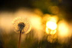 Beautiful background with dandelion Stock Images