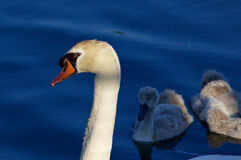 Beautiful background with the father-swan and his children on the sunny evening Royalty Free Stock Photos
