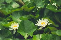 Beautiful background of floating white water lilies on sunny day Stock Image