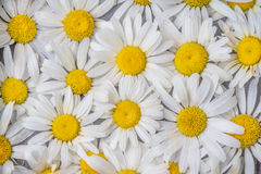 Beautiful background of the flowers of camomile with white petals Royalty Free Stock Photography