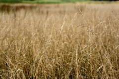 Beautiful background with fluffy dry grass in autumn field stock images