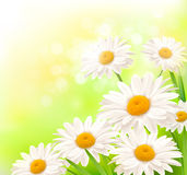 Beautiful background with grass and daisies Royalty Free Stock Photo