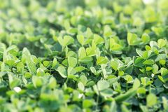 Beautiful background with green clover leaves, clover in meadow. Clover field, cloverfield, field of clover, clover covered meadow in the spring royalty free stock photography