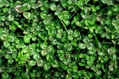 Beautiful background with green clover leaves for Saint Patrick`s day stock images