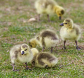 Beautiful background with a group of chicks together on the grass field Royalty Free Stock Images
